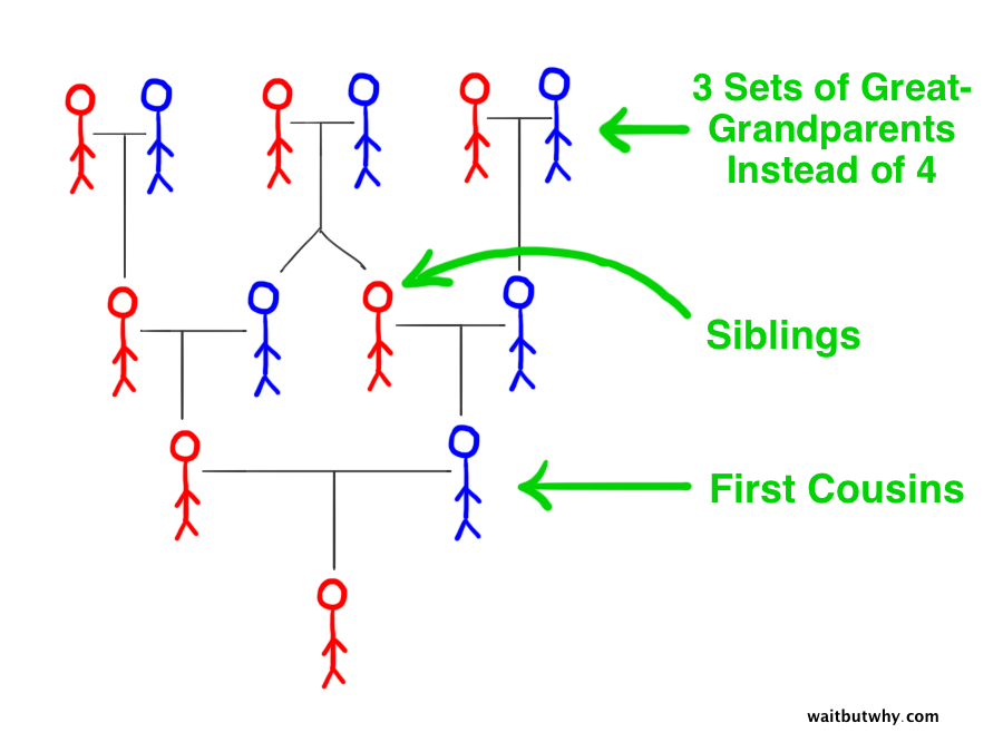 pedigree collapse stick family tree showing that the child of first cousins only has three sets of great-grandparents