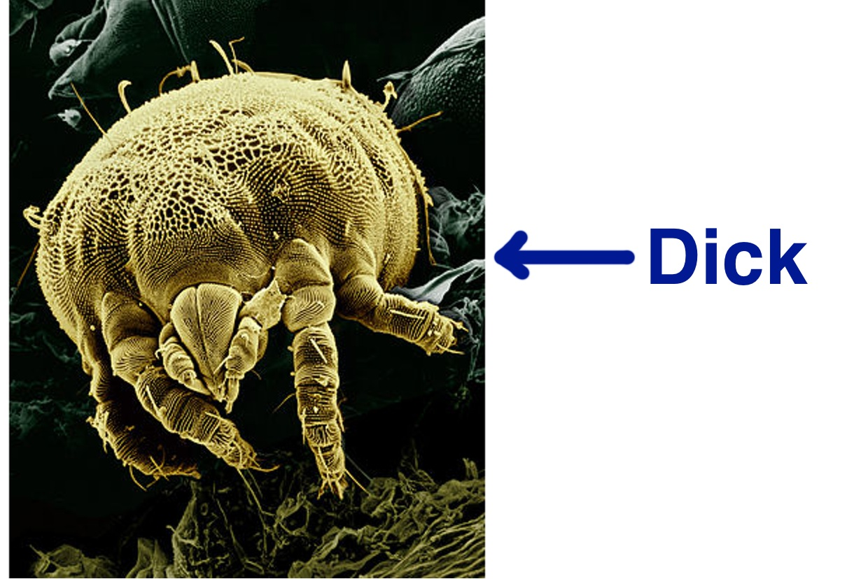 Dust mites pictures of