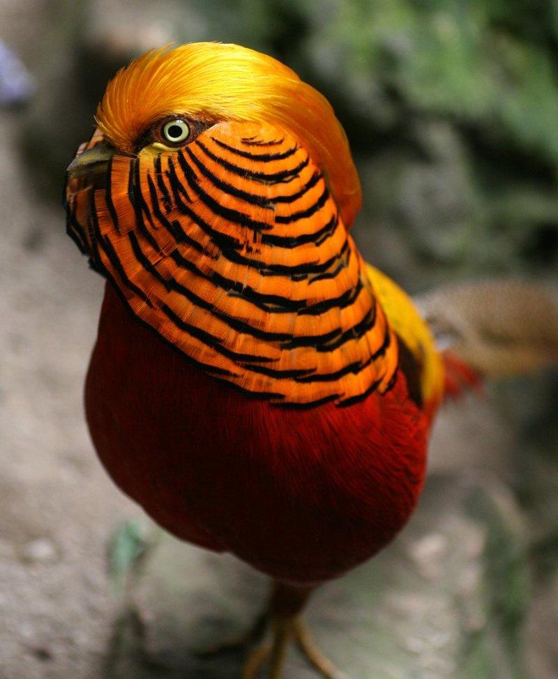 behumigolden-pheasant21
