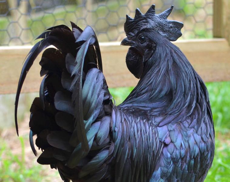 facemani-chickens-03