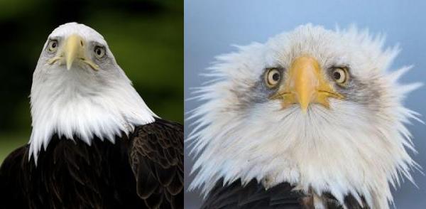 hybrid bald eagle humble