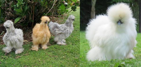 hybrid puff chicken