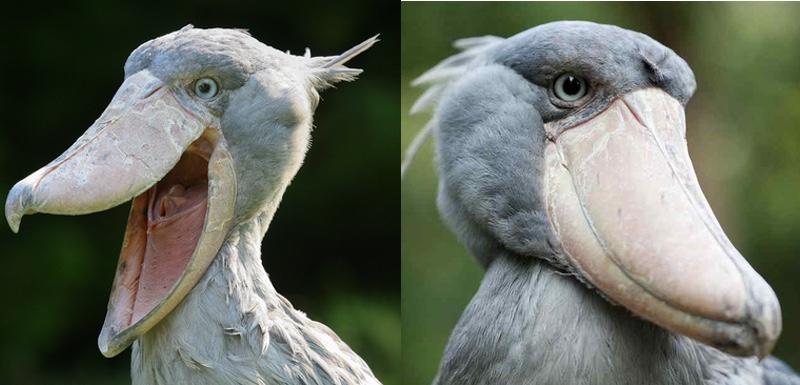hybrid shoebill