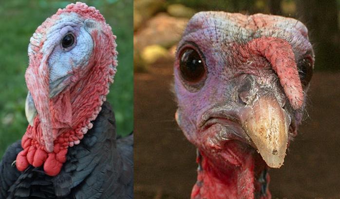 hybrid turkey