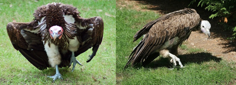 hybrid vulture