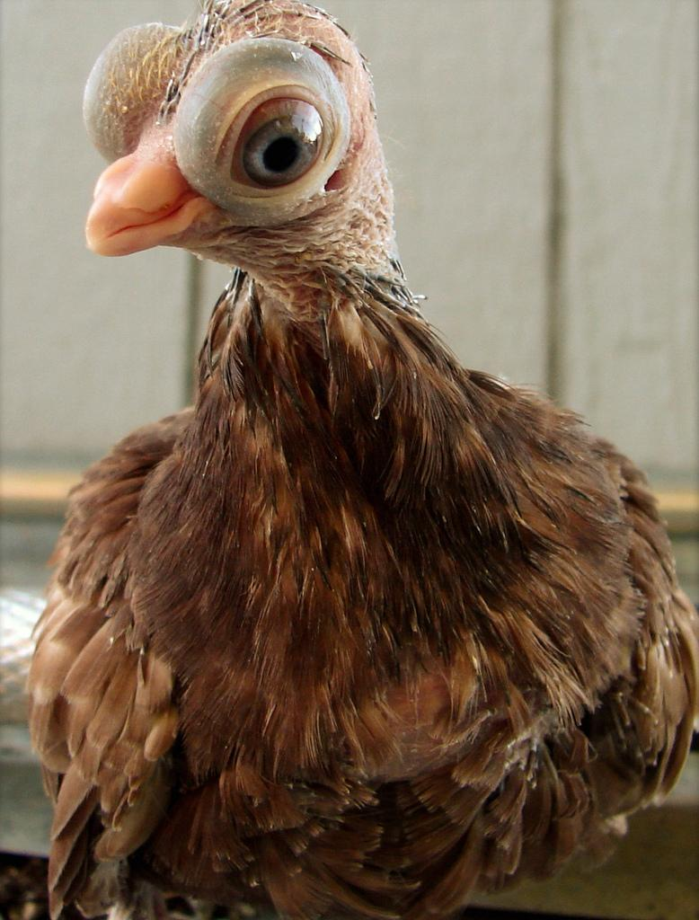 jozenormes-ojos-buho-paloma-budapest-L-2CRO80