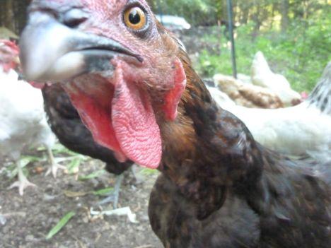 outchicken-closeup