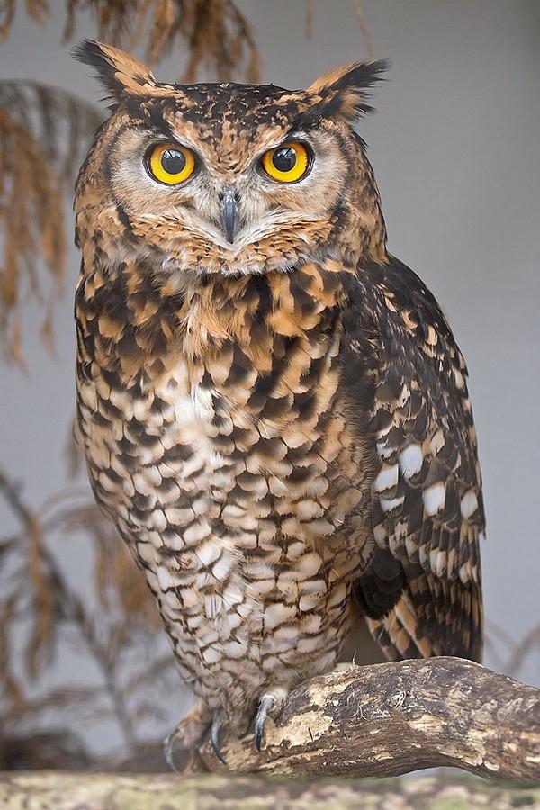 owEagle_Owl_face
