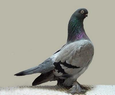 pigberlin-short-faced-muffed-tumbler-pigeon-3