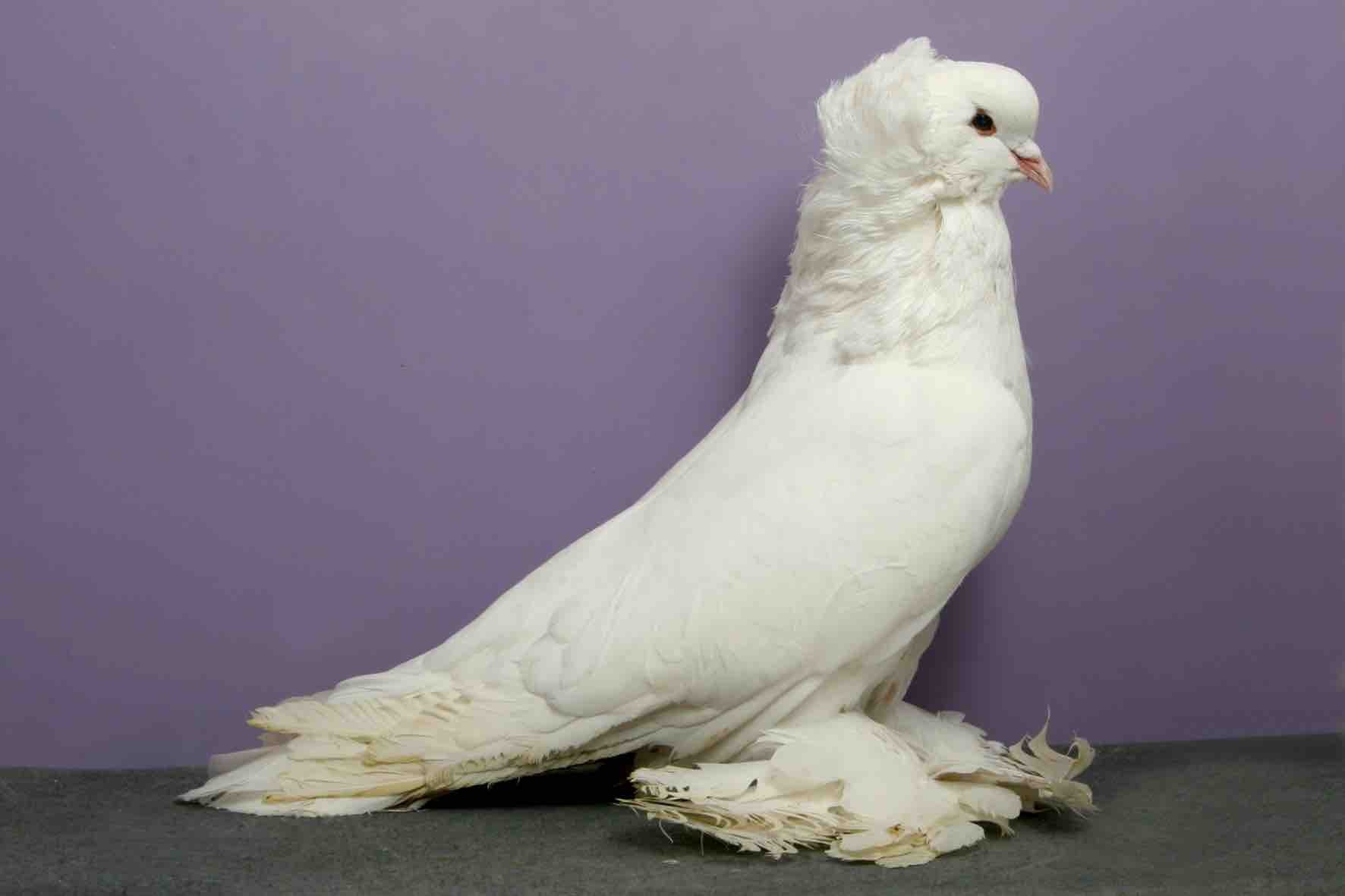 pigeon-concours-beaute-champion-oiseau-12