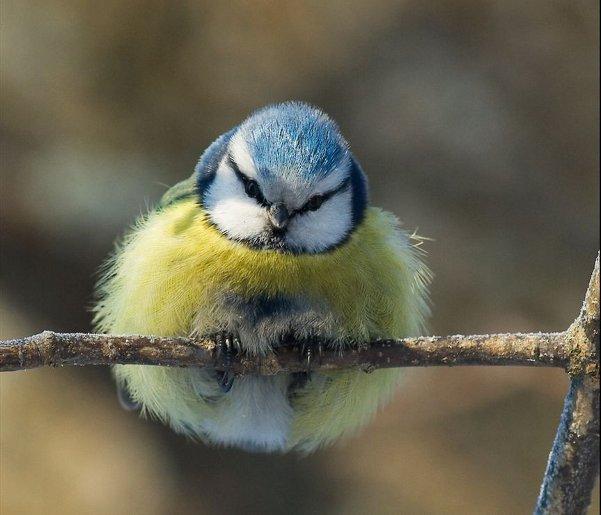 prozfat-fluffy-bird