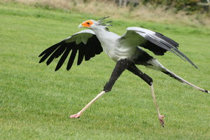 prozmadeleine___secretary_bird_by_skarkdahn-d5iqi89