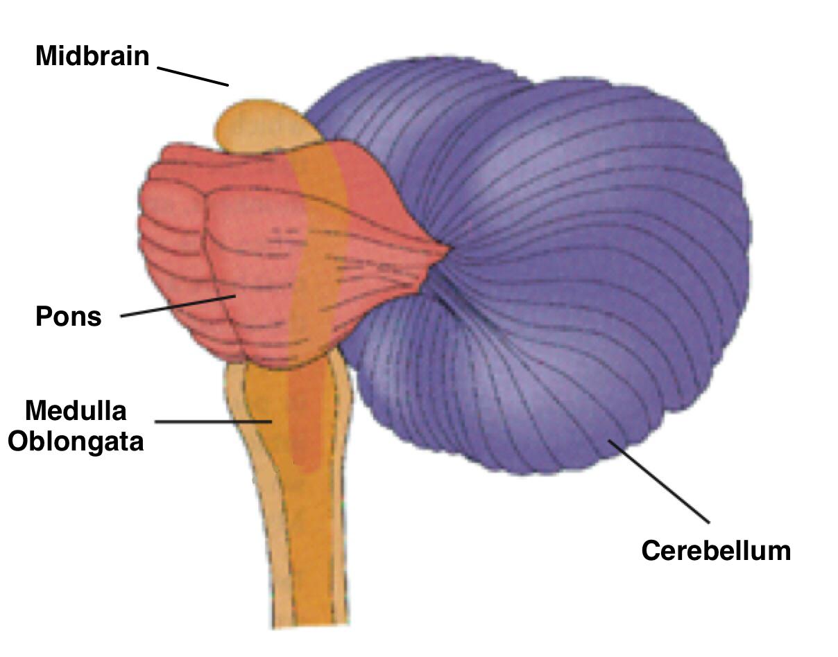 midbrain, pons, cerebellum, and medulla oblongata