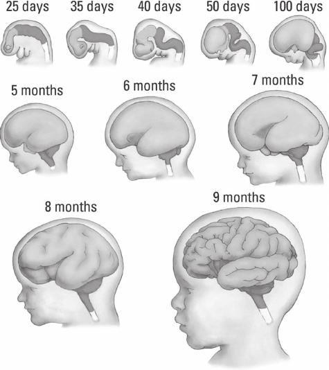 Figure 2 Prenatal Development Of The Human Brain Showing A